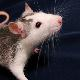 szczur_